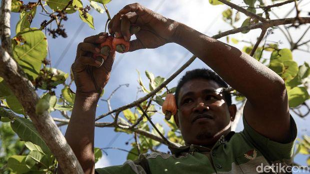 Arnoldus Iku (29), melakukan panen mete di kebunnya Kabupaten Malaka, NTT. Menjadi petani sejak 2011 lalu, kini Arnoldus bisa memanen mete seberat 1,5 ton.