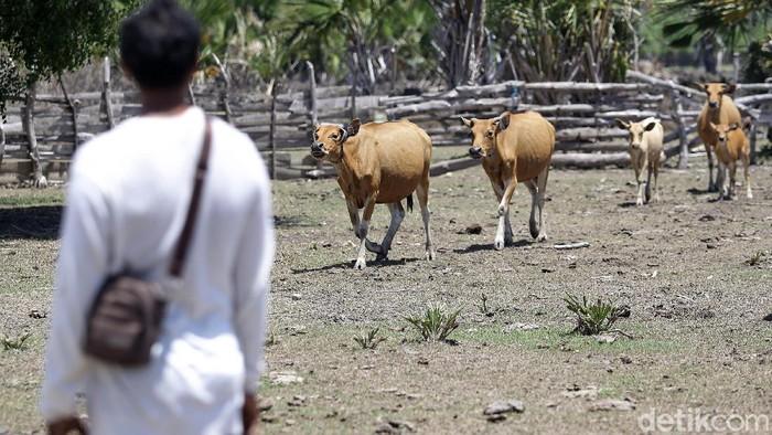Jefriadi, salah seorang peternak sapi di Kabupaten Malaka, NTT. Jefriadi berhasil mengembangkan usaha peternakan sapinya atas bantuan pinjaman KUR sejak 2008.