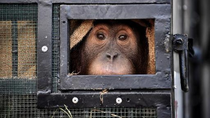 A Sumatran orangutan sits in a cage before being repatriated from Thailand to Indonesia after having been smuggled into the kingdom, at Suvarnabhumi Airport in Bangkok in December 17, 2020. (Photo by Lillian SUWANRUMPHA / AFP)