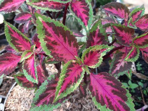 Koleksi tanaman hias Miana yang mempunyai warna yang cantik
