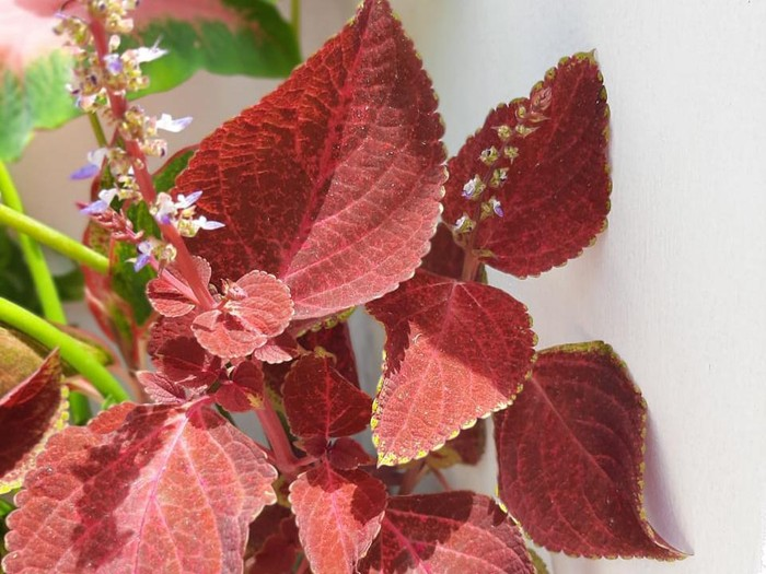 Miana or coleus plant with Latin name Plectranthus Scutellarioides has a perfect red color with beautiful patern on the leaves. This plant is perfect for an ornamental plant in the yard and also has many benefits for traditional medicine.