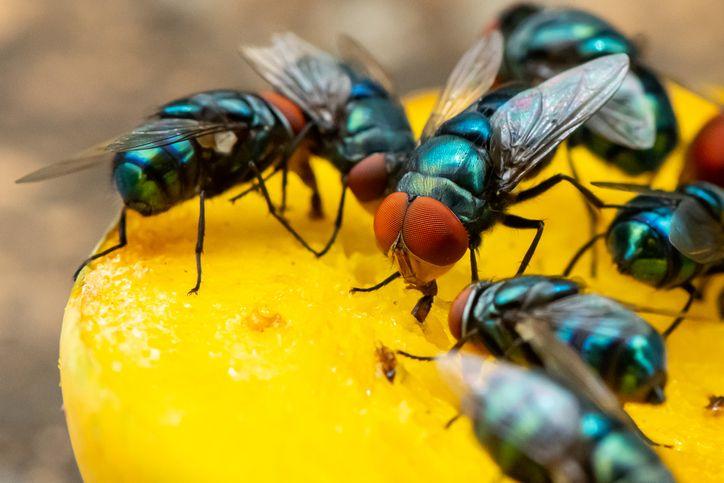 Cara Mengusir Lalat Pada Makanan