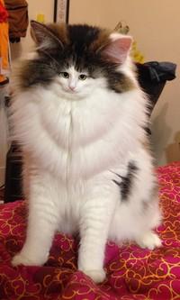 foto kucing wajah mungil