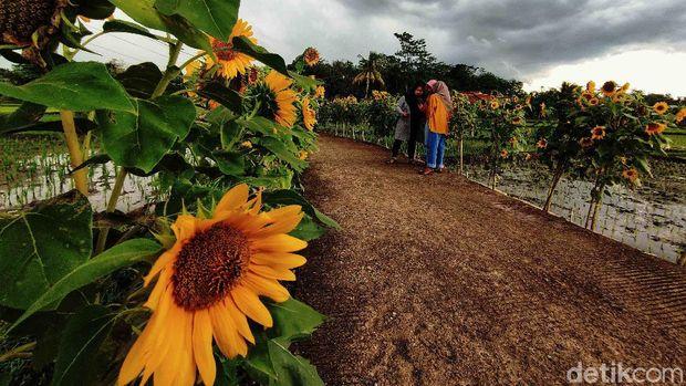 Kampung Bungbulang Desa Nanggala Mekar Kecamatan Ciranjang Kabupaten Cianjur mendadak viral dan ramai dikunjungi. Pasalnya kampung tersebut kini dihiasi ribuan bunga matahari dan menjadi spot wisata baru yang instagramable.