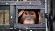 3 Tahun di Perantauan, Orangutan Sumatera Dipulangkan