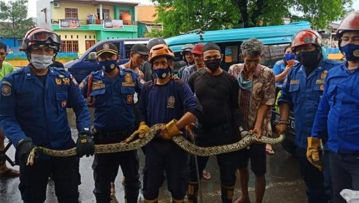 Damkar tangkap ular piton di pohon di Makassar (Dok. Istimewa)