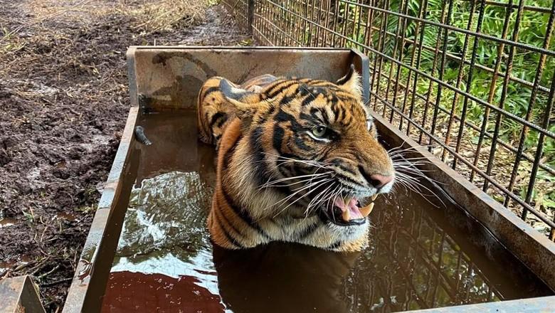 Seekor Harimau Sumatera di Riau dilepasliarkan setelah terkena jerat sembilan bulan lalu. Harimau betina bernama Corina itu kini kondisinya sudah sehat.