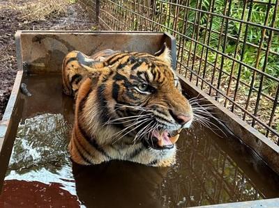 Awas! Harimau di Singkawang Masih Lepas Setelah Tewaskan Pawang