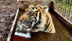 Harimau Corina Akhirnya Dilepasliarkan Usai Jalani Perawatan