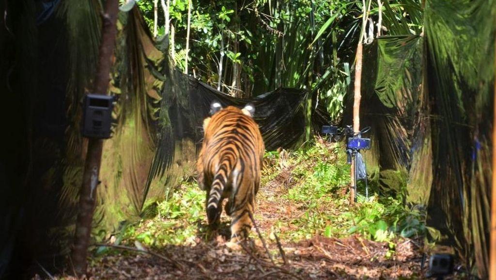 2 Harimau di Sinka Zoo Kabur dari Lubang Besar di Kandang Akibat Longsor