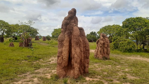Inilah keajaiban alam dari Merauke, yaitu rumah rayap berukuran raksasa. Berada di permukaan tanah, tinggi rumah rayap bisa mencapai 5 meter. (Hari Suroto/Istimewa)