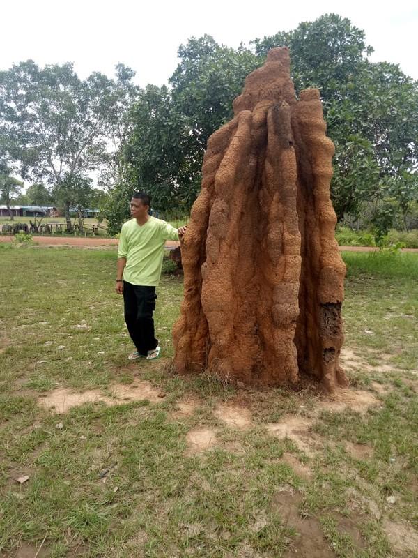 Rumah rayap ini hanya ditemukan di daerah vegetasi Eucalyptus dan hutan dataran rendah Merauke dan Australia Utara. Hal tersebut membuktikan Papua dan Australia pada masa Pleistosen pernah menjadi satu daratan. (Hari Suroto/Istimewa)