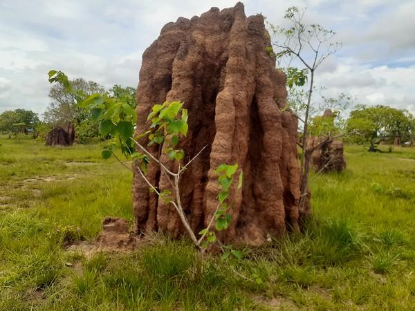 Rumah rayap raksasa ini dibuat oleh spesies rayap tanah Nasutitermes triodiae. Di Papua dan Papua Nugini, rayap ini hanya ditemukan di Merauke saja. (Hari Suroto/Istimewa)