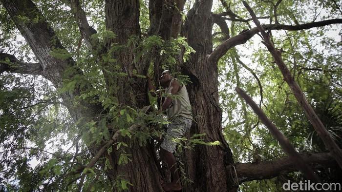 Yanuarius Tallo (38) tengah memanjat pohon asam di salah satu rumah warga Malaka, Timor Tengah Selatan, NTT.
