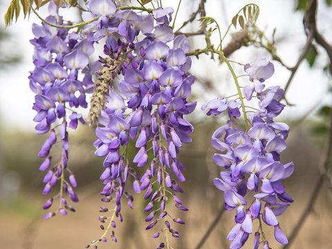 Purple wisteria blossoms in springtime delicate petals