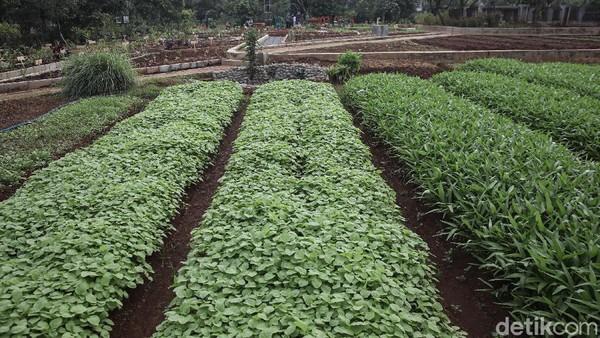 Beragam tanaman sayur ditanam di sini.