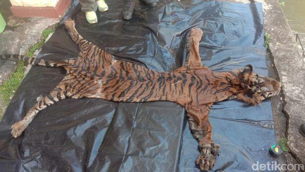Polisi amankan terduga pelaku perdagangan kulit harimau Sumetera