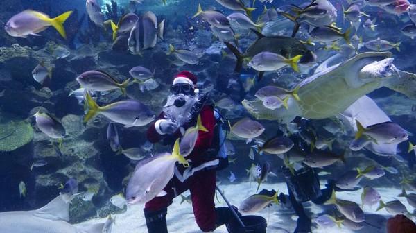 Seorang penyelam scuba berpakaian Santa Claus memberi makan ikan di akuarium Aquaria KLCC di Kuala Lumpur, Malaysia, Rabu (23/12/2020) waktu setempat.