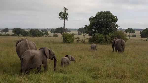 Pemerintah Kenya lebih memilih menyisihkan dana pemulihan untuk konservasi area cagar alam.