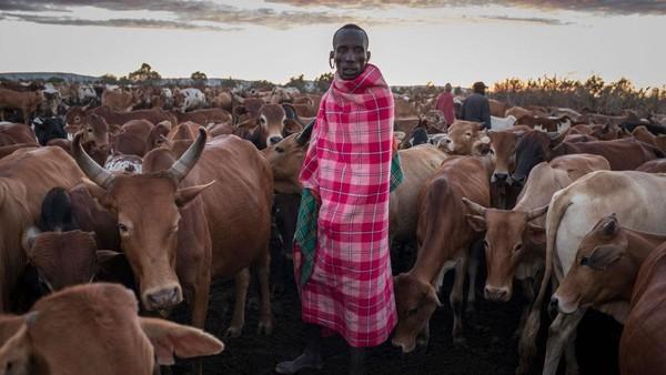 Seorang lelaki Maasai menjaga ternaknya pada di Mara North Conservancy, Kenya, Selasa (22/12/2020) waktu setempat.