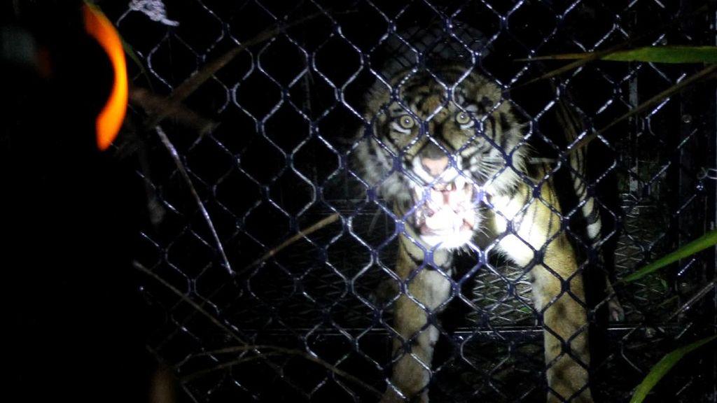 Masuk Perangkap, Harimau Sumatera Dievakuasi di Aceh