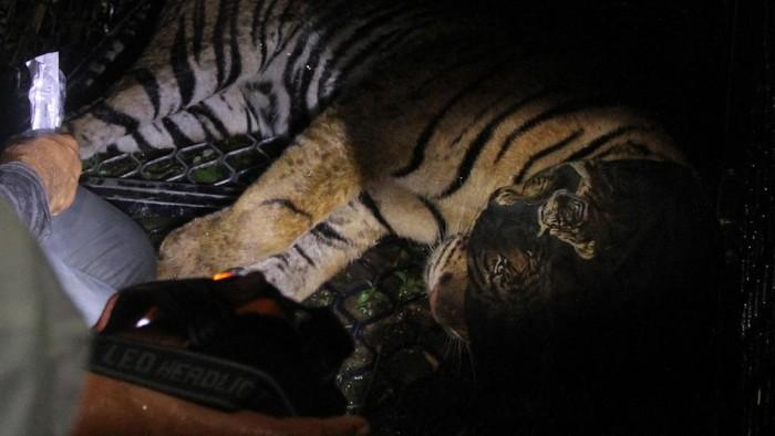 Petugas BKSDA Aceh bersama tim dokter hewan menimbang Harimau Sumatera liar (Panthera tigris sumatrae) saat proses evakuasi di Desa Pangkalan Sulampi, Kecamatan Suro, Kabupaten Aceh Singkil, Aceh, Rabu (23/12/2020). Harimau Sumatera liar yang masuk kedalam perangkap tersebut selanjutnya dibawa ke Conservation Response Units (CRU) Trumon Kabupaten Aceh Selatan untuk observasi lebih lanjut. ANTARA FOTO/Syifa Yulinnas/rwa.