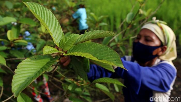 Sebagian besar masyarakat Kapuas Hulu mengantungkan hidupnya dari tanaman kratom, terlebih saat pandemi COVID-19. Tak terkecuali bagi Yohanes yus Ady, warga Bika, Kapuas Hulu.