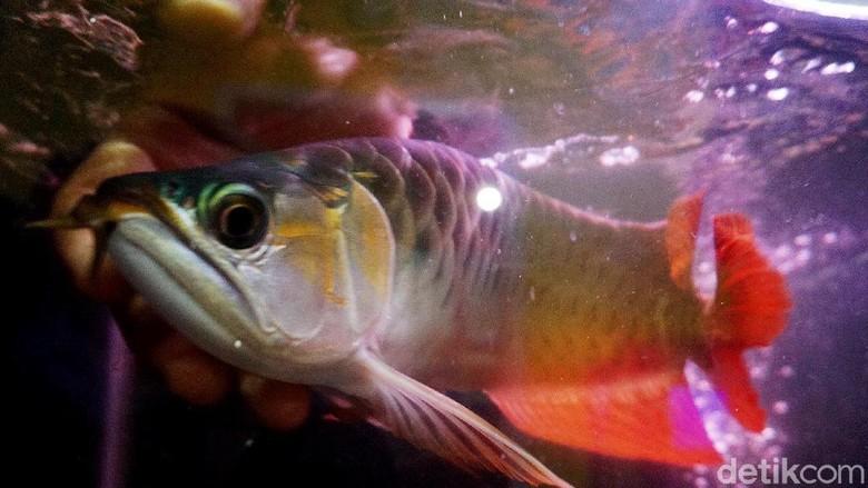 Seorang pengusaha yang berhasil membudidayakan ikan Arwana ini berhasil meraup untung hingga ratusan juta pertahun. Penasaran? Intip aja yuks.