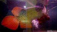 Daftar 20 Ikan Bersirip Dilindungi Negara, Jangan Main Tangkap!