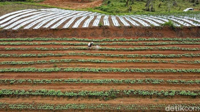 Raup Rp 50 Jutaan Sekali Panen, Pria Milenial Ini Pilih Jadi Petani  Ahmad Sahid, pria milenial ini lebih memilih menjadi petani di daerahnya Dusun Sebindang, Kecamatan Badau, Kalimantan Barat. Sekali panen, Sahid bisa meraup Rp 50 juta.