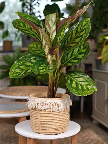 Tropical 'Calathea Flamestar' houseplant with beautiful striped pattern in natural basket flower pot on snall white round table in living room