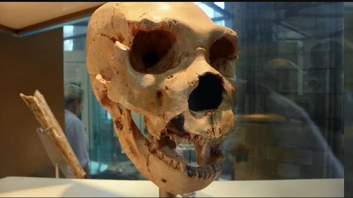 Cranium 5 of H. heidelbergensis from Sima de los Huesos. (AnemoneProjectors/Flickr/CC BY-SA 2.0)