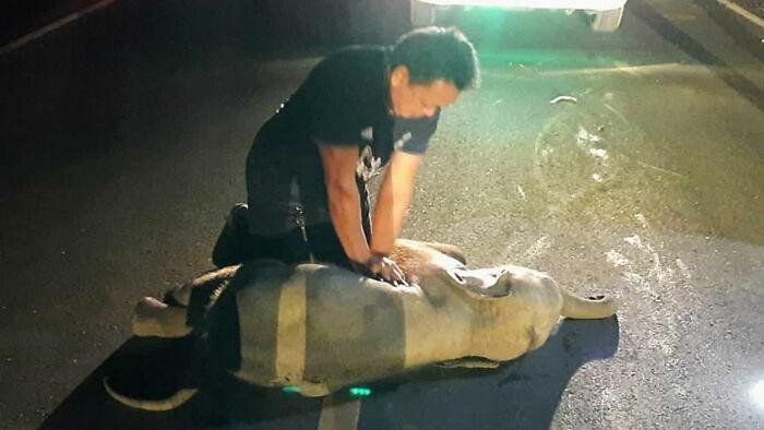 Seekor anak gajah berhasil selamat dari kecelakaan maut (tabrakan dengan sepeda motor) setelah seorang petugas penyelamat memberikannya CPR.