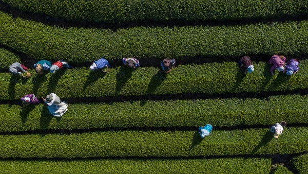 Shizuoka secara internasional dikenal sebagai salah satu tempat terbaik untuk teh hijau Jepang asli, menghasilkan 45% dari keseluruhan produksi teh Jepang.