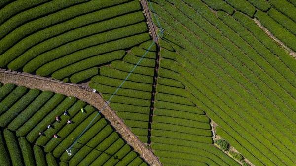 Hamparan hijaunya daun teh berjajar dengan rapih dan memanjakan mata.