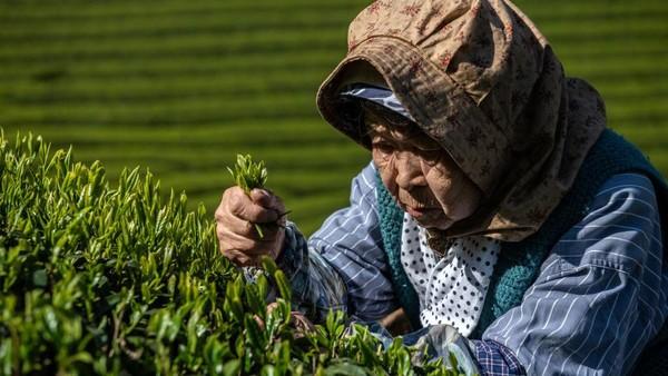 Diketahui Jepang memproduksi sekitar 100.000 ton teh hijau per tahun.