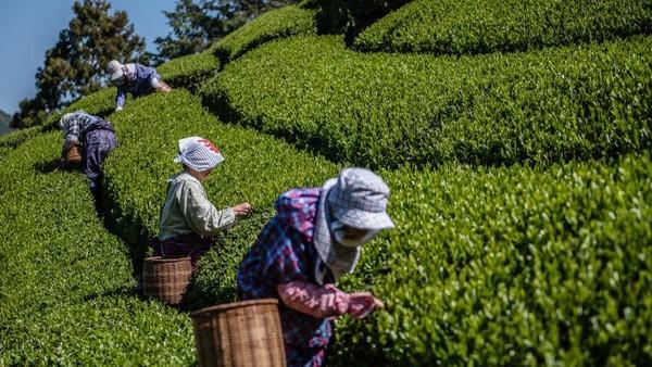 Para pekerja di kebun teh juga tampak memetik daun teh untuk proses produksi.