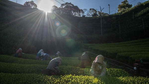 Keindahan kebun teh yang kini dikelola oleh Yoshio dan Masumi Moriuchi, menjadi daya tarik wisatawan lokal hingga mancanegara.