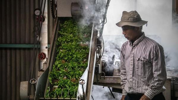Yoshio Moriuchi memasukkan daun teh yang baru dipetik ke dalam mesin yang akan memprosesnya untuk dikonsumsi.