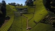 Terbius Pesona Kebun Teh Moriuchi di Jepang