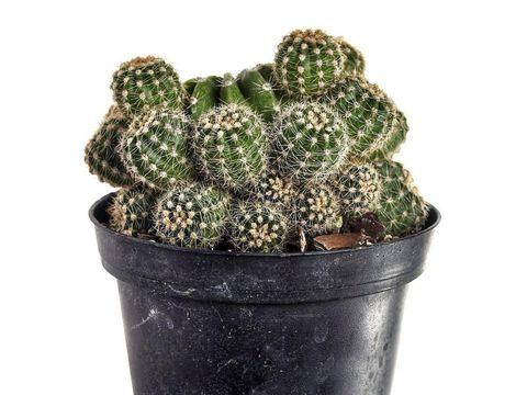 tanaman sukulen ball cactus.
