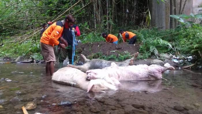 Tiga bangkai babi jumbo yang ditemukan di Sungai Tibayan, Klaten, Selasa (29/12/2020).
