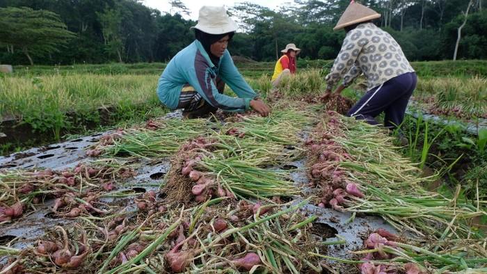 Petani memanen bawang merah Nganjuk di persawahan desa Giyono, Jumo, Temanggung, Jawa Tengah, Selasa (29/12/2020). Harga bawang merah musim panen anjlok menjadi Rp15.000 per kilogram dari musim panen sebelumnya yang mencapai Rp25.000 per kilogram di tingkat petani akibat banjir di sejumlah wilayah penghasil bawang merah sehingga petani menjual dengan harga rendah. ANTARA FOTO/Anis Efizudin/aww.