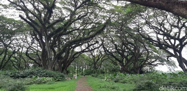 Hutan seluas 9 hektar ini ditumbuhi oleh ratusan pohon trembesi. (Bonauli/detikcom)