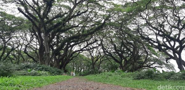 Hutan De Djawatan sendiri dibuka dua sesi, pagi pukul 07.00-12.00 WIB dan siang pukul 13.00-17.00 WIB. (Bonauli/detikcom)
