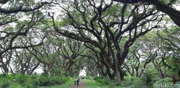 Hutan De Djawatan sangat wajib kamu sambangi ketika liburan ke Banyuwangi. (Bonauli/detikcom)