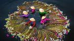 Foto Menakjubkan Saat Petani Memanen Bunga Teratai