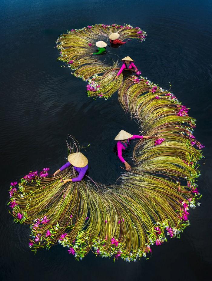 Pada saat hari panen bunga teratai di Delta Mekong, Vietnam tiba, para petani disibukan oleh kegiatan panen-memanen tanaman air yang disebut juga water lily ini.
