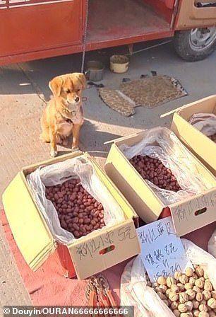 Gemas! Anjing Imut Ini Sibuk Jualan Sayur di Pinggir Jalan
