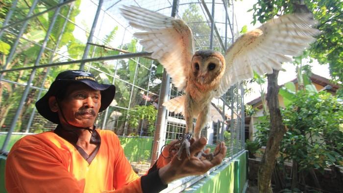 Ada sebuah penangkaran burung hantu di Indramayu, Jabar. Sejumlah burung hantu di penangkaran itu nantinya akan dilepasliarkan di area persawahan.